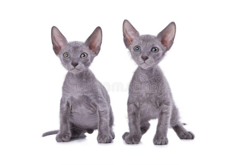Gatti dello Sphinx fotografie stock