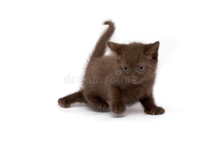 Gatti diritti scozzesi fotografia stock libera da diritti