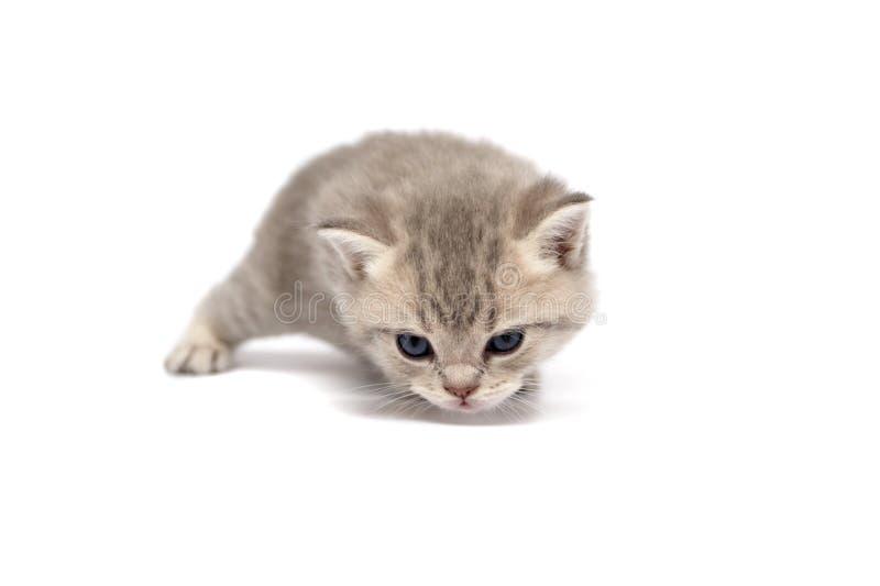 Gatti diritti scozzesi fotografie stock libere da diritti