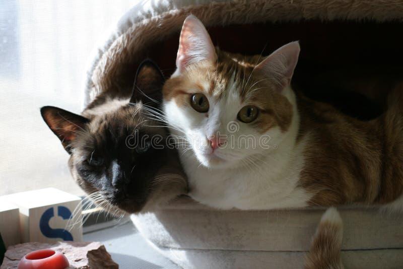 Download Gatti insieme fotografia stock. Immagine di accoppiamento - 450282