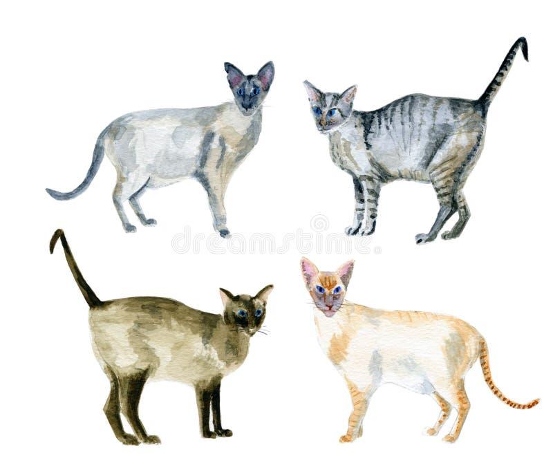 Gatti orientali dello shorthair fotografie stock libere da diritti