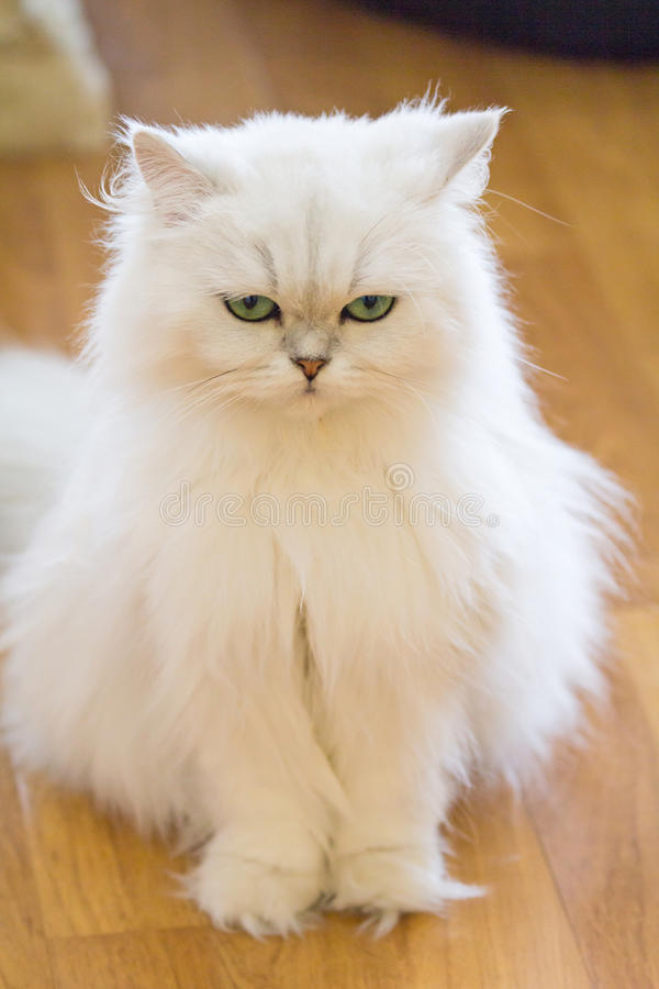 Popolare Gatti persiani bianchi fotografia stock. Immagine di gatto - 80929968 RQ69