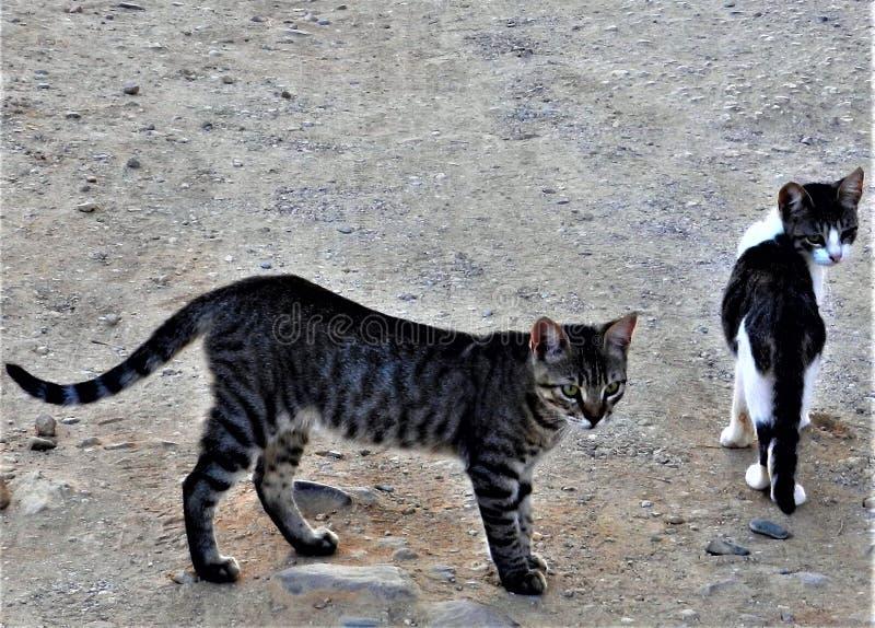 Gatti selvaggi, Chania, Creta fotografia stock