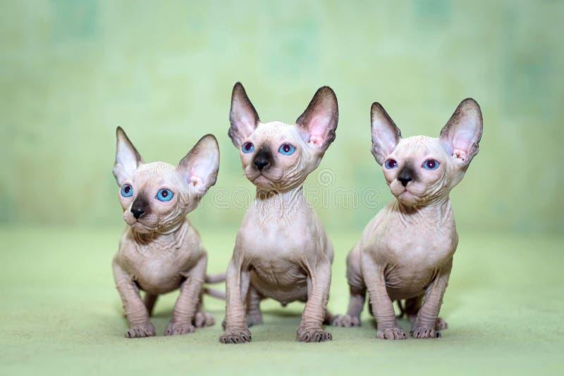 Gatti Sphynx con gli occhi azzurri fotografie stock