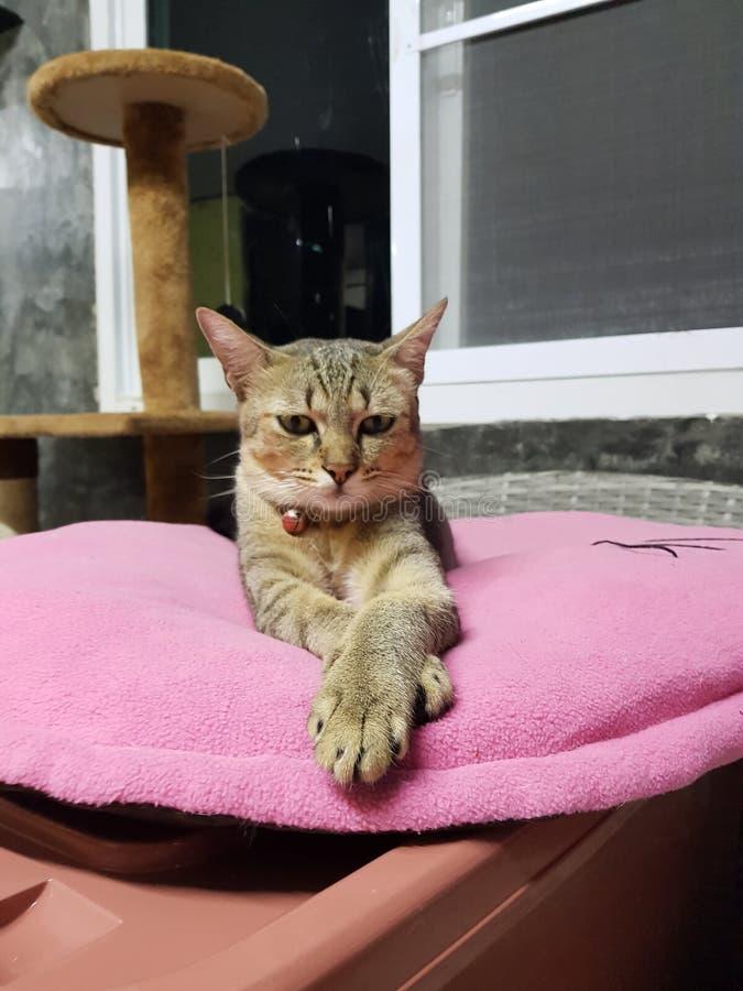Gatti svegli che si siedono delicatamente sul rosa immagini stock libere da diritti