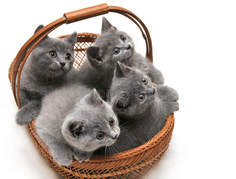 Gattini britannici fotografie stock libere da diritti