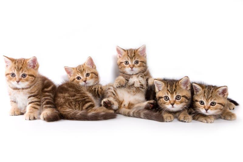 Gattini britannici immagini stock libere da diritti