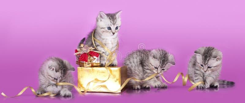 Gattini Britannici e regalo immagini stock libere da diritti