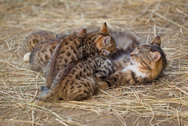 Gattini d'alimentazione del gatto della madre fotografie stock
