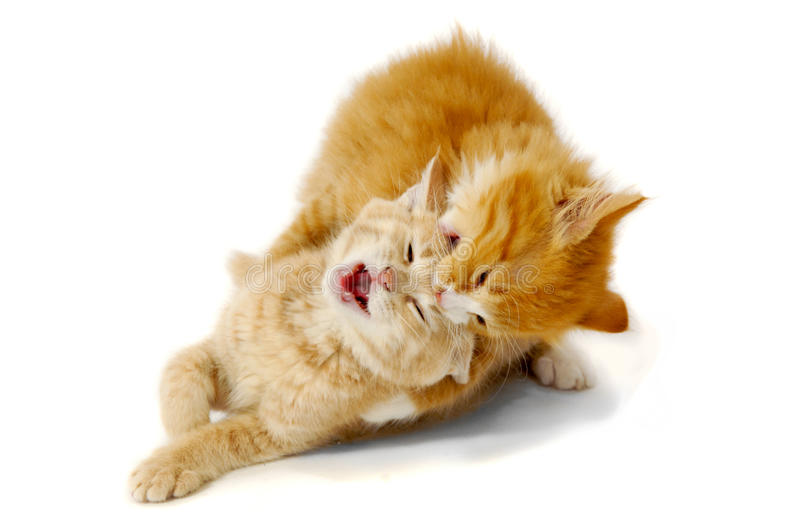 Gattini di combattimento immagine stock libera da diritti