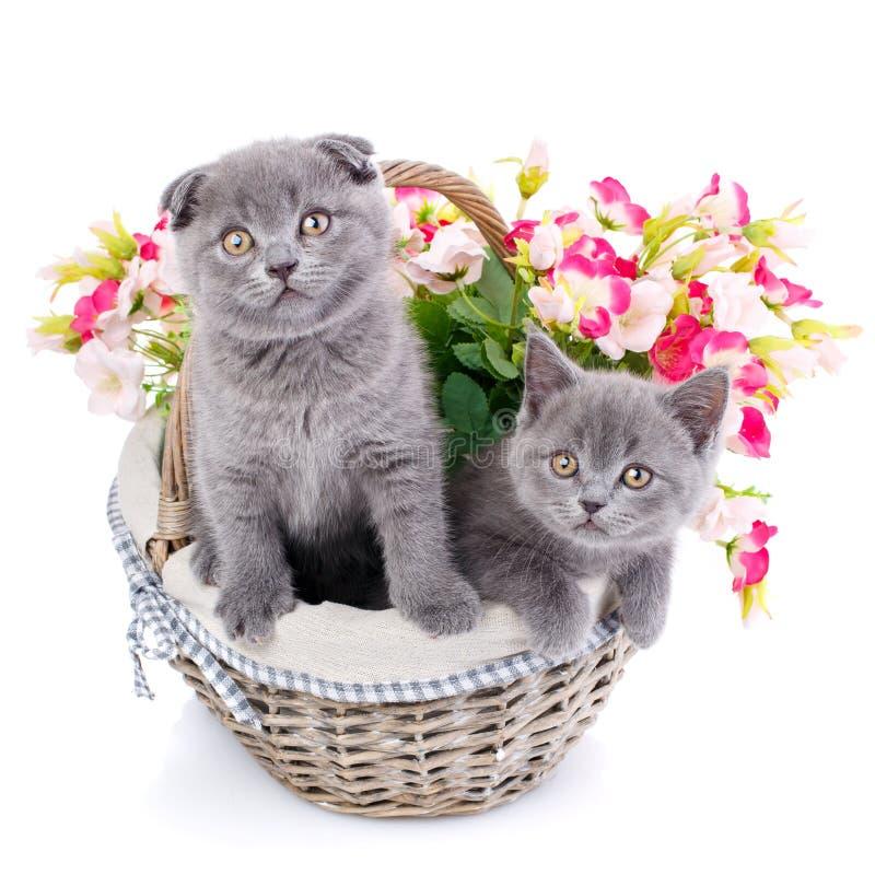 Gattini diritti e scozzesi scozzesi del popolare Gatto due in un canestro con i fiori fotografie stock