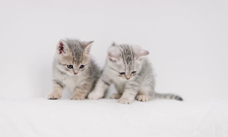 Gattini grigi che giocano su un sofà bianco immagini stock