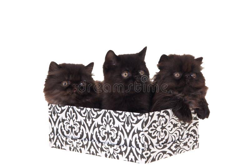 Gattini persiani in contenitore di regalo isolato su bianco immagini stock libere da diritti