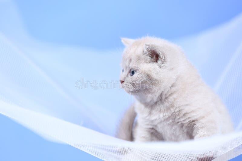 Gattini su una rete bianca, ritratto di Britannici Shorthair immagine stock