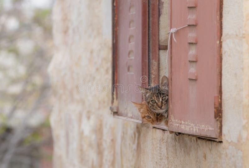 Gattini svegli che si nascondono dietro la finestra che guarda alla macchina fotografica immagine stock