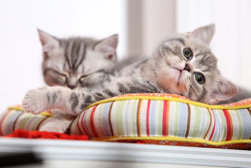 Gattini svegli su un cuscino immagini stock libere da diritti