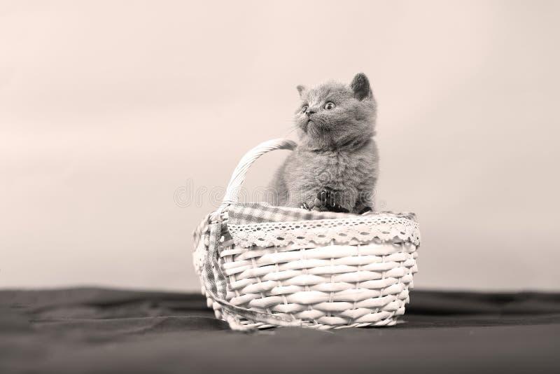 Gattini in un cestino immagine stock
