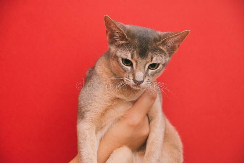 Gattino abissino dai capelli corti sulle mani su un fondo rosso immagini stock libere da diritti