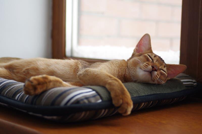 Gattino abissino dello zenzero di sonno giovane sul cuscino grigio immagini stock libere da diritti