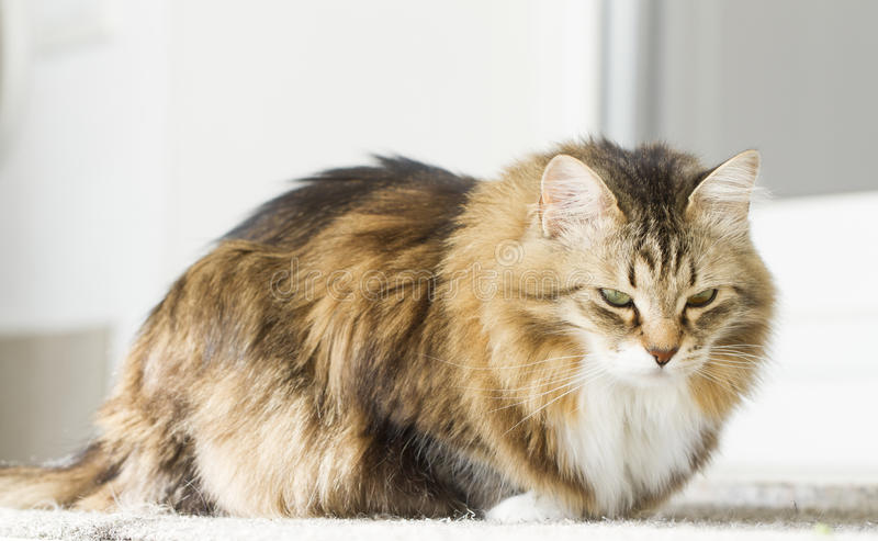 Gattino adorabile nella casa immagini stock