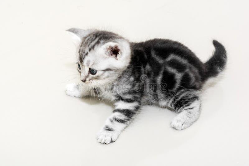 Gattino americano sveglio del gatto dello shorthair fotografia stock