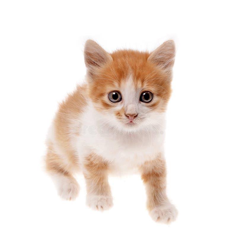 Gattino arancio fotografia stock