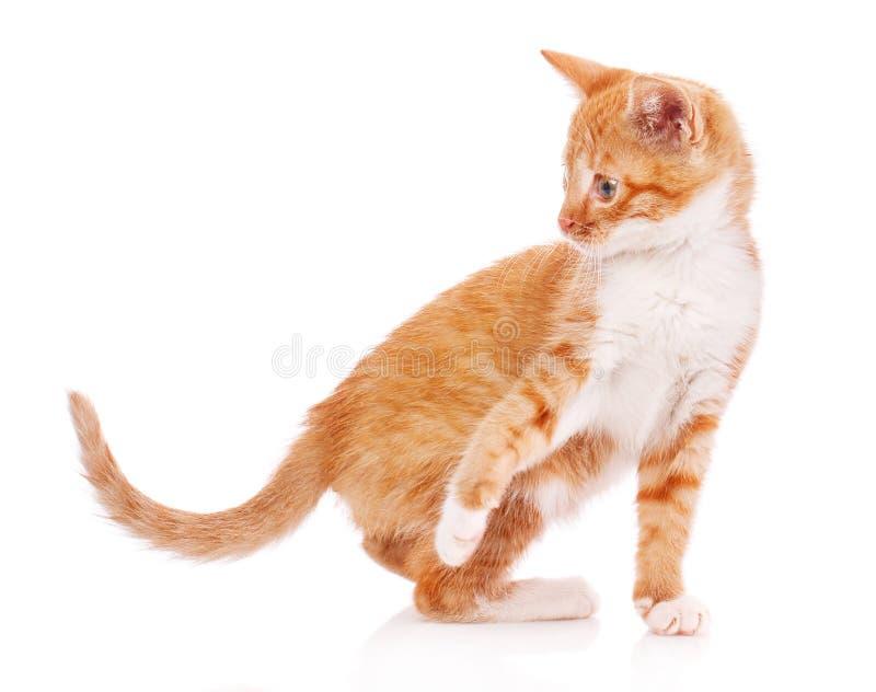 Gattino arancio sveglio con le zampe bianche immagine stock libera da diritti