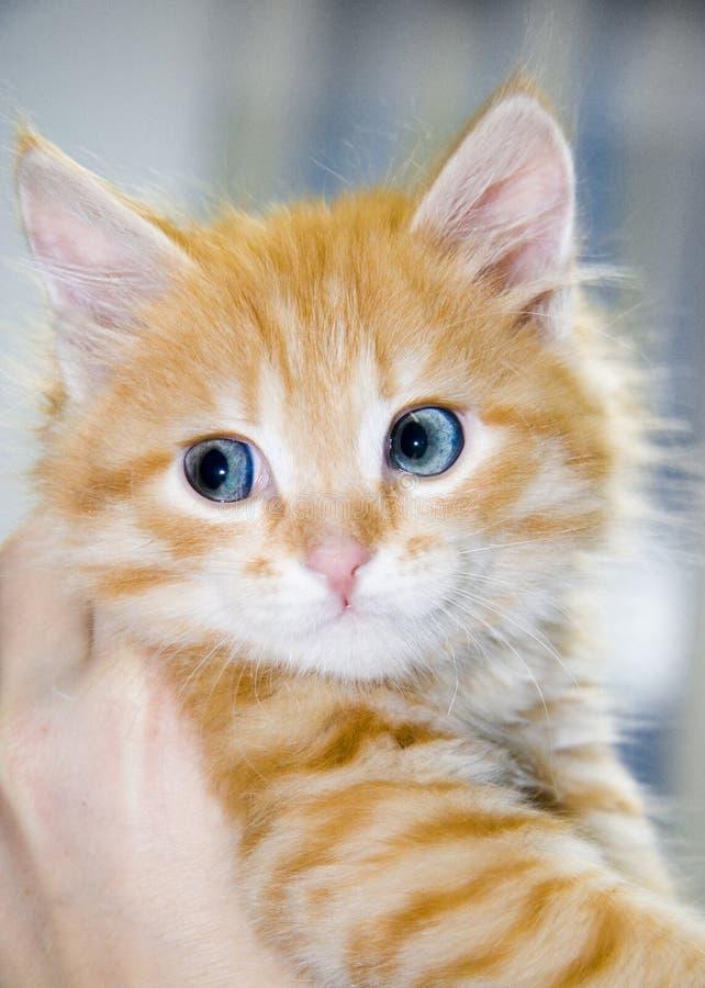 Gattino arancione sveglio con gli occhi azzurri immagine stock libera da diritti