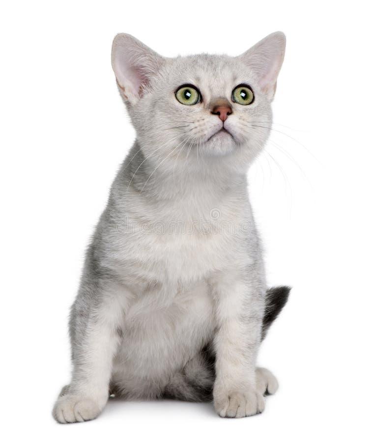 Gattino asiatico (4 mesi) immagini stock libere da diritti