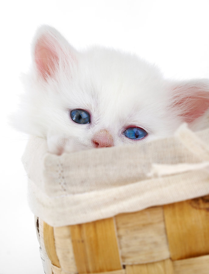 Gattino bianco fotografia stock libera da diritti