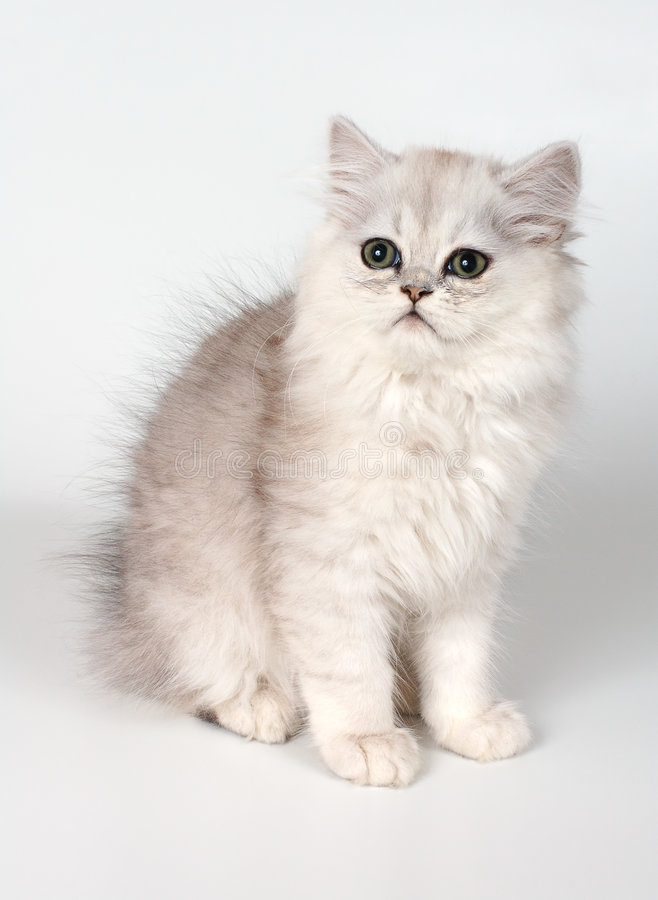 Gattino bianco immagini stock