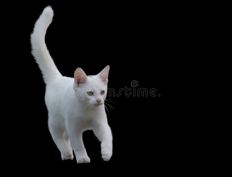 Download Gattino bianco. fotografia stock. Immagine di adorable - 7300124