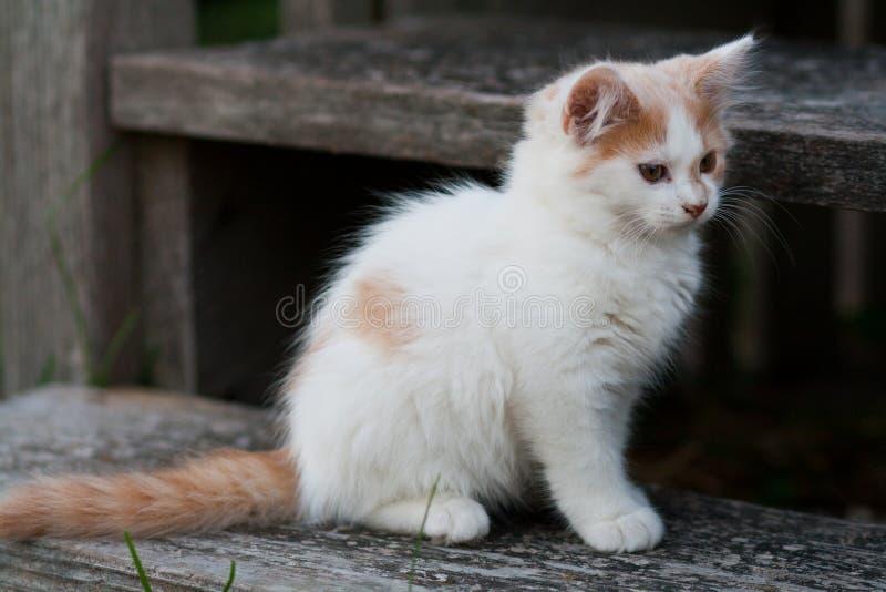 Gattino bianco & arancio sveglio immagine stock libera da diritti
