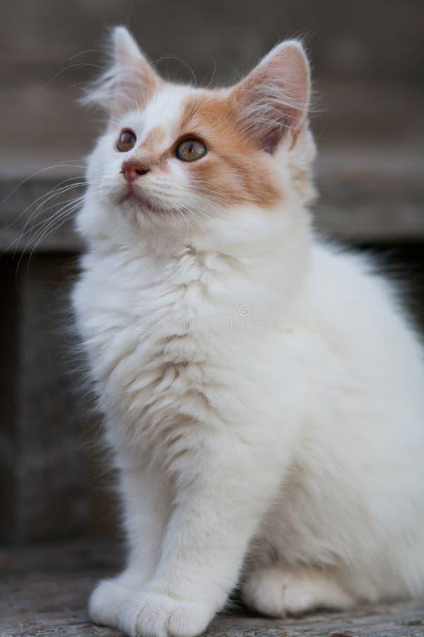 Gattino bianco & arancio sveglio fotografie stock libere da diritti