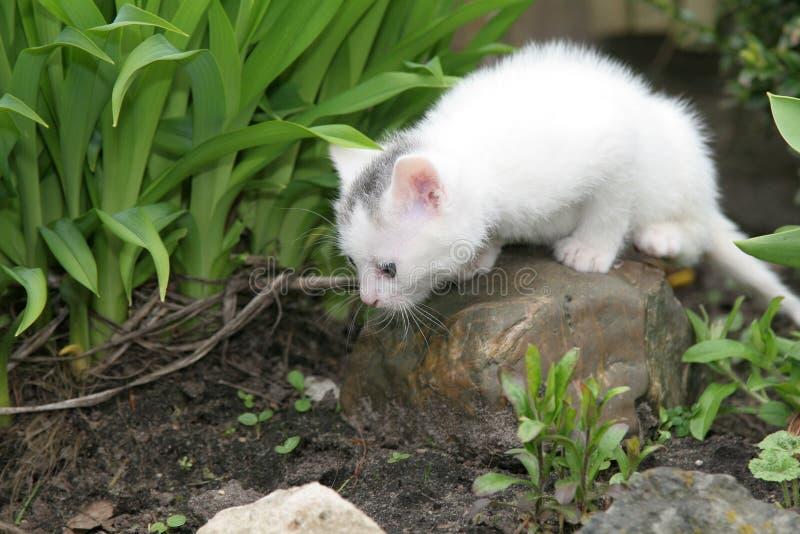 Gattino bianco molto piccolo che osserva intorno immagini stock