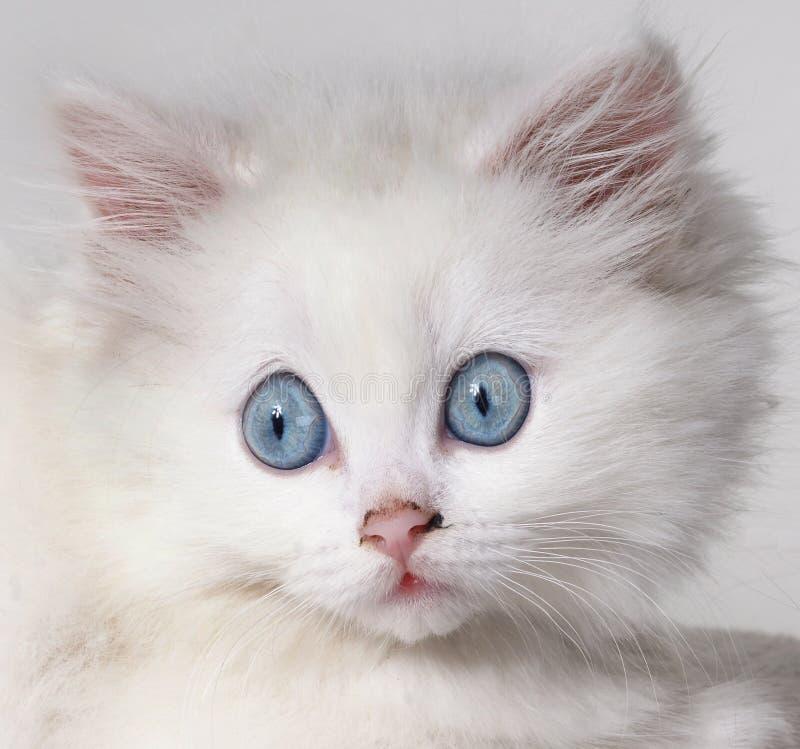 Gattino bianco sorpreso fotografia stock libera da diritti