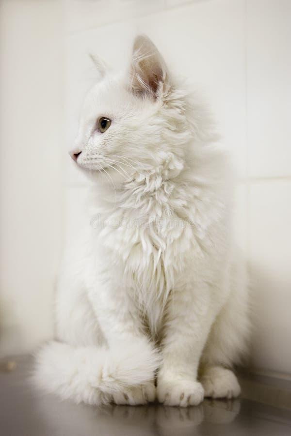 Gattino bianco sulla Tabella del controllare immagine stock libera da diritti