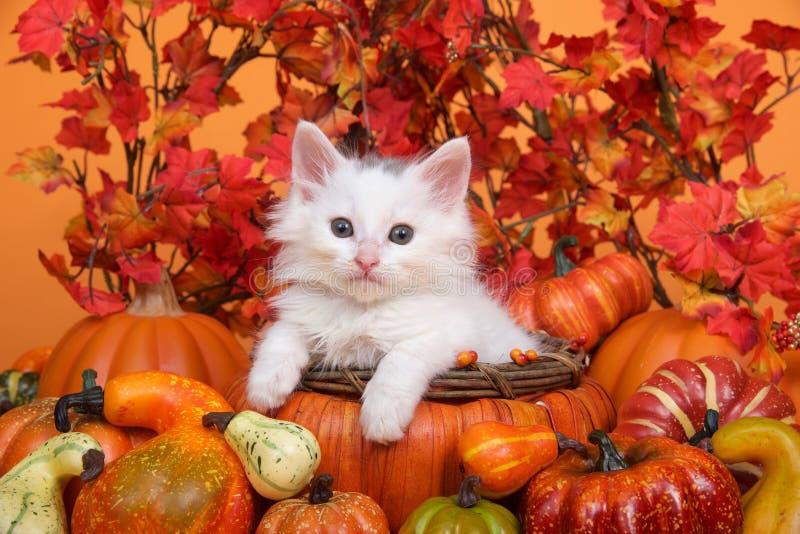 Gattino bianco in un canestro del raccolto di autunno immagine stock libera da diritti