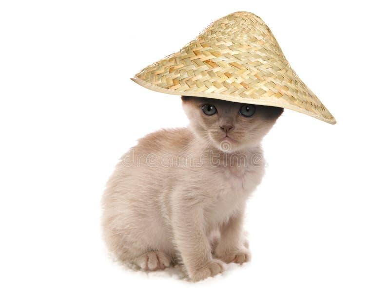 Gattino birmano crema che porta cappello cinese immagine stock libera da diritti
