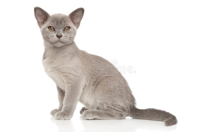 Gattino birmano davanti a fondo bianco immagine stock