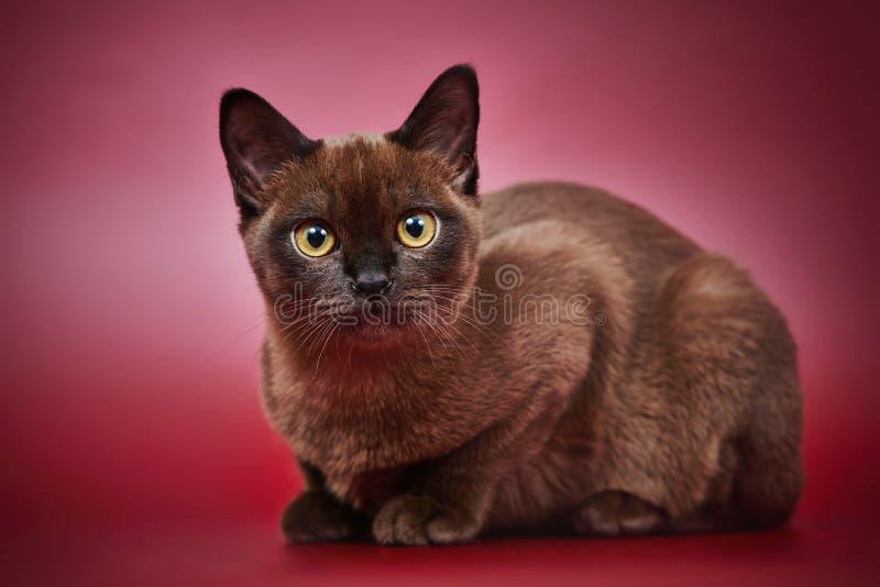 Gattino birmano tradizionale americano immagini stock