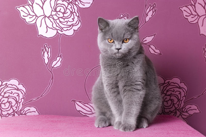 Gattino blu britannico dello shorthair su un fondo rosa fotografia stock libera da diritti