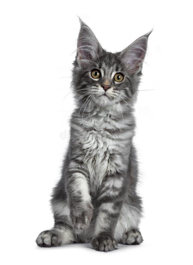 Gattino blu molto sveglio del gatto di Maine Coon del soriano, isolato su fondo bianco fotografia stock libera da diritti