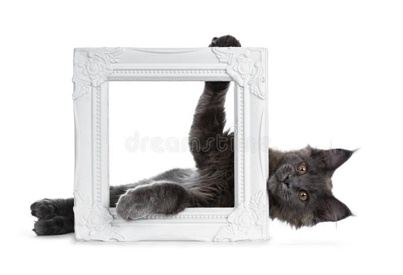 Gattino blu solido divertente adorabile del gatto di Maine Coon che si situa dietro e che ostacola una struttura bianca della fot fotografia stock libera da diritti