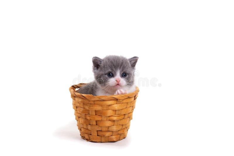 Gattino britannico bicolore blu che si siede su un fondo bianco in un canestro di vimini immagine stock