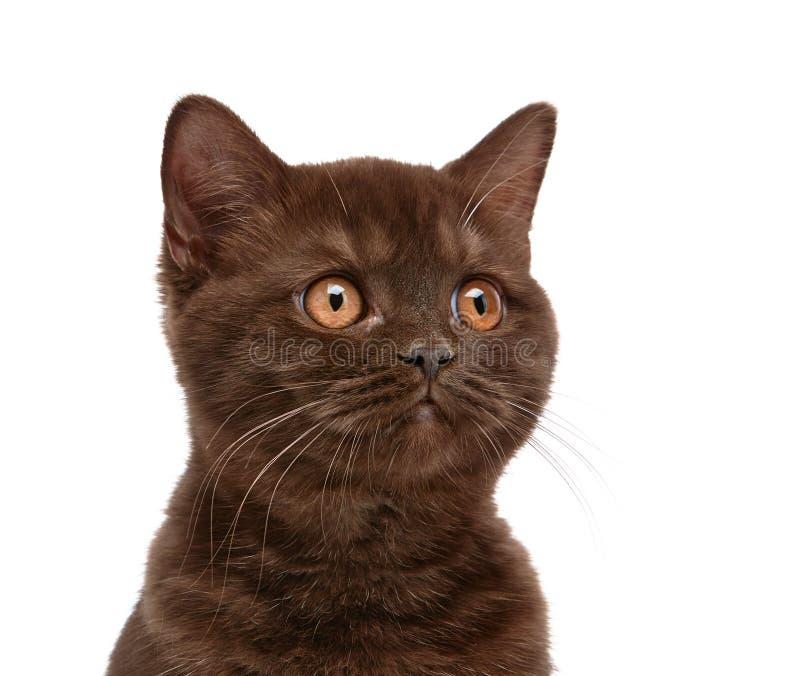 Gattino britannico dei capelli di scarsità di Brown fotografie stock