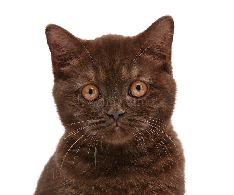 Gattino britannico dei capelli di scarsità di Brown fotografie stock libere da diritti