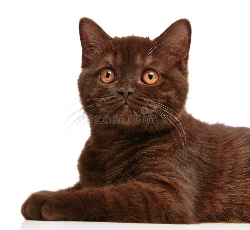 Gattino britannico dei capelli di scarsità di Brown fotografia stock