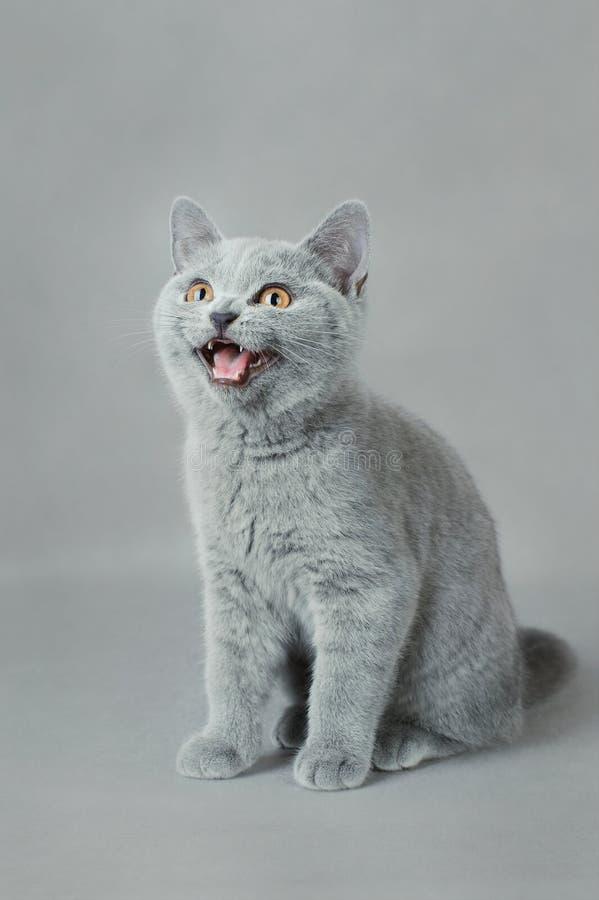 Gattino britannico dello shorthair fotografia stock