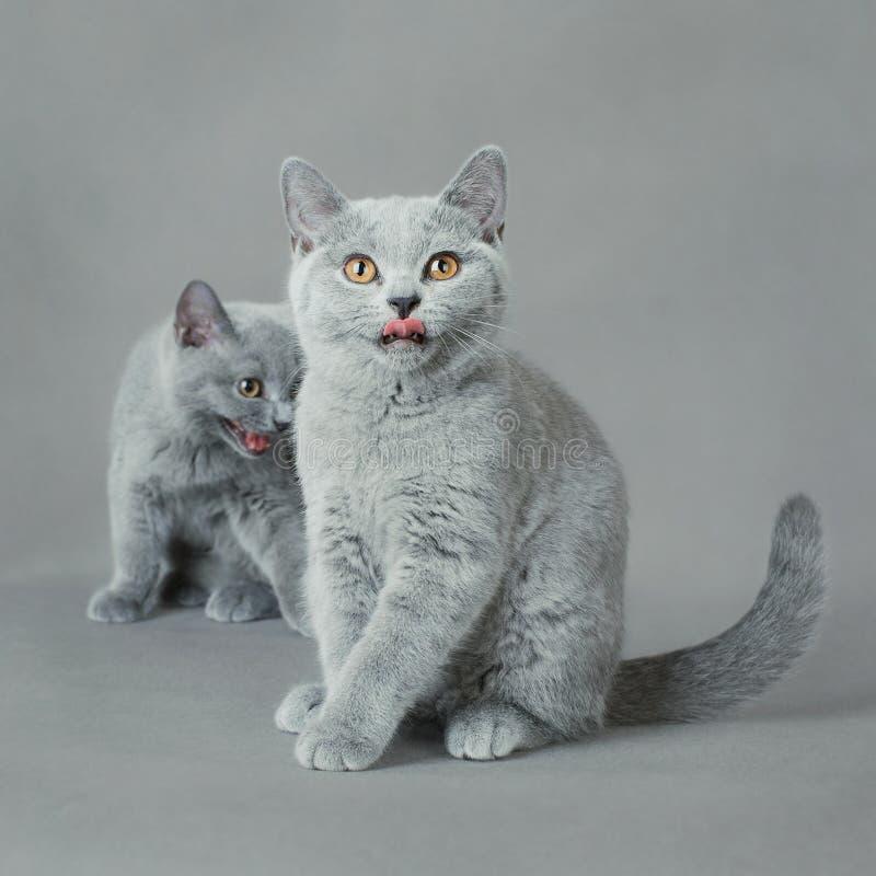 Gattino britannico dello shorthair immagini stock libere da diritti
